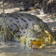 Large saltwater crocodile — Stock Photo #39005561