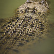 Saltwater crocodile floating — Stock Photo #39062611