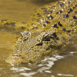 Постер, плакат: Crocodile swimming