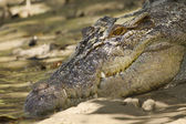 Crocodile head — Foto Stock