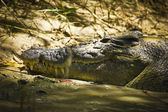 Sleeping crocodile — Stock Photo