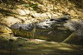 Sovande krokodil — Stockfoto