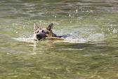 German Shepherd swimming — 图库照片