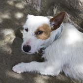 White cute dog — ストック写真