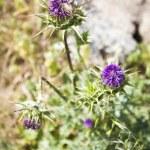������, ������: Purple dry summer flower