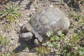 地中海龟 — 图库照片