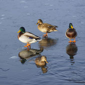First day of winter. First ice on the lake. Group of ducks floating in a frozen still not until the end of the lake. — Stock Photo