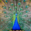 Peacock displaying its feathers — Stock Photo