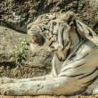 White tiger — Stock Photo #25518849