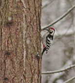 Woodpecker — Stock Photo