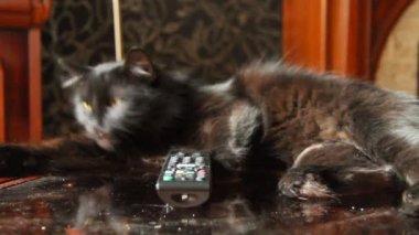 Katten älskar tv — Stockvideo