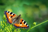 Butterfly urticaria — Stock Photo