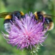 Bumblebees on thistle — Stock Photo #21780783