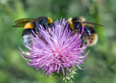 Bumblebees on a thistle — Stock Photo