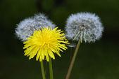 Three dandelion — Stock Photo