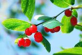 Rode bessen van kamperfoelie — Foto de Stock