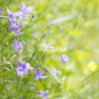 Stock Photo: Bellflower on meadow