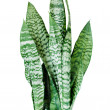 Stock Photo: House plant Sansevieria