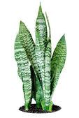 House plant Sansevieria — Stock Photo