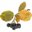 Stock Photo: Bunch of ripe black chokeberry