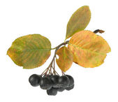 Bunch of ripe black chokeberry — Stock Photo