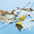 Three yellow maple leaf — Stock Photo