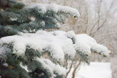 Snow on fir branches — Stock Photo