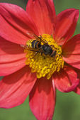 Bee on the flower — Foto Stock
