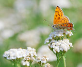Butterfly Scarce Copper — Stock Photo