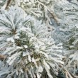 Stock Photo: Pine needles covered hoarfrost