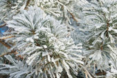 Pine needles covered hoarfrost — Foto Stock