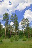 Pine trees of different ages — Stock Photo