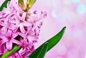 Giacinto rosa — Foto Stock