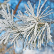 Pine needles covered hoarfrost — Stock Photo