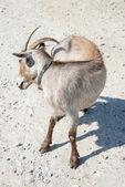 棕色山羊 — 图库照片