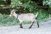 Goat goes on road — Stock Photo