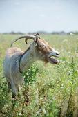 Dark goat — Stock Photo