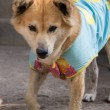 Bangkeaw Thai dog — Stockfoto #37989983