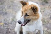 Face of Bangkaew Thai dog — Stock Photo