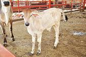 Little calf — Stock Photo