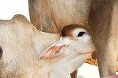 Cow feeding a little calf — Foto Stock