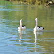 Lovely Pelicans in the lake — Stock Photo