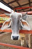 Cattle — Stock fotografie