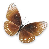 Brown butterfly on white background — Stock Photo