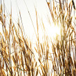 Dry Fountain grass against sunlight background — Stock Photo