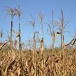 Dry corn stalks — Stock Photo