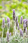 Beautiful Lavendor flowers — Foto de Stock