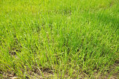 Green seedlings of rice in the field — Stock Photo