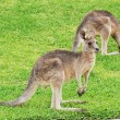 Little Kangaroos — Stock Photo