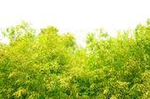 Fresh green Bambo leaves — Stock Photo